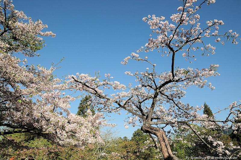 阿里山櫻花季69