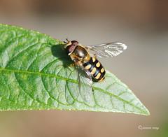 eupeodes luniger (jenniemay2011) Tags: true insects flies hoverfly pollinator d3000 eupeodesluniger jenniemay