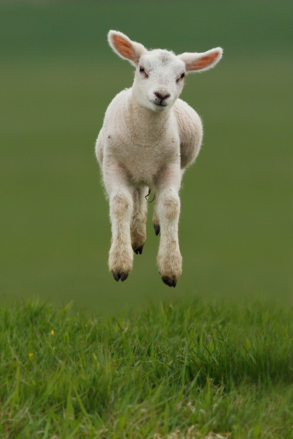 Levitating Lamb Roeselien Raimond Tags Baby Cute Canon Easter Spring Jump Jumping Sheep