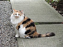 Prettiest Cat in the Hood (knightbefore_99) Tags: city white black cute art girl vancouver cat fur ginger chat pretty sweet royal fluffy gato sheila cc2900