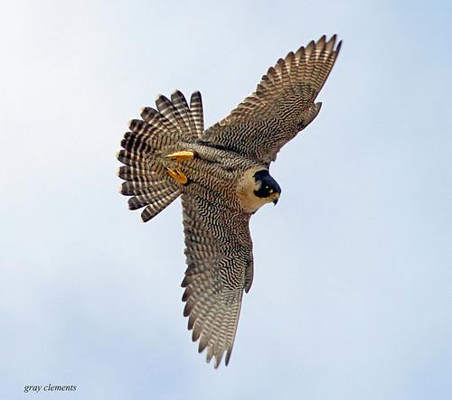 Peregrine Falcon Talons Peregrine Falcon Wild