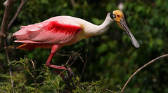 Roseate Spoonbill (Let there be light (Andy)) Tags: texas spoonbill roseatespoonbill highisland plataleaajaja texasbirds featheryfriday houstonaudubon fowlfeatheredfriends avianexcellence uppertexascoast smithoaks