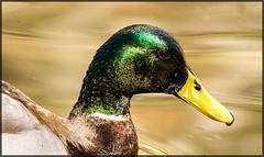 Shiny Mallard (MurrayH77) Tags: portrait nature closeup duck wildlife pa mallard