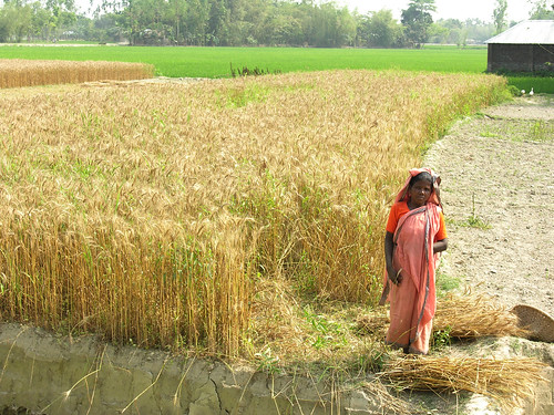 A woman and a rice field. Bangladesh. Photo by Peter Fredenburg