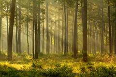 Light in the forest... (Lindell Dillon) Tags: tx flickraward worldhdr reddirtpicsgoodrichjonesstateforestconroe