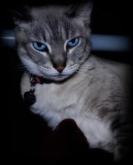 Abrah's blue eyes! (charlesmonroe98) Tags: blue cat eyes nikon kitten siamese dslr d5000