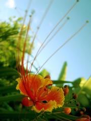 Flor de Flamboyan (jst'MB) Tags: puertorico flor cayey flamboyan