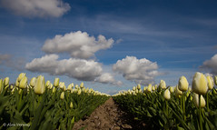 Fresh tulips ... From Holland (Alex Verweij) Tags: new blue sky cloud white canon blauw tulips wolken fresh bleu tulip 7d lucht polder wit helder 1022mm flevoland almere tulpen zeewolde nieuw wolk tulp polde fris wonderfulworldofflowers alexverweij