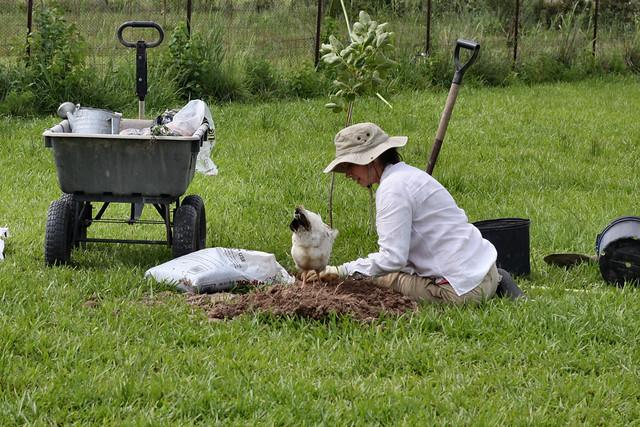 planting trees w/ my chicken helper