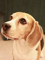 Something Good for Me! (Kaiser the Beagle) Tags: dog beagle headshot dailydogchallenge
