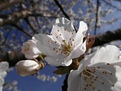 A cherry blossom wedding (KF-Photo) Tags: cherry cherryblossom cherrytree kirschblten cherryflowers einsiedel kirchentellinsfurt kirschallee