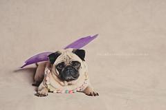 Fairy God Lola (Katie Takes A Picture) Tags: wings lola pug fairy