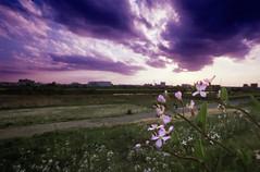 Tamagawa Super Sunset (The 10 Thousand Things) Tags: flowers sunset saturated skies glow fuji purple minolta superia iso400 illuminated lush hillside superia400 srt101 tamagawa rokkor digitalpostprocessing mdwrokkor 17mm4