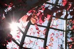 Hamilton Gardens (Jaime Carter) Tags: blue autumn red newzealand sky leaves vines arch hamilton flare waikato grape hamiltongardens renaissancegarden jaimewalsh jaimecarter