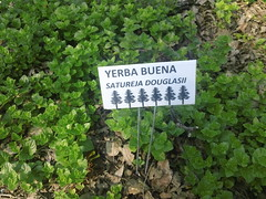 yerba buena (flora-file) Tags: california plants garden tour gardening wildflowers horticulture natives bringingbackthenatives