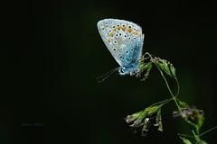 Azur (rj@ubertsb) Tags: papillon azur