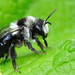 Andrena cineraria - Female solitary Bee agrilus.blogspot.co.uk