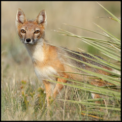 Alert! (gainesp2003) Tags: colorado wildlife fox co vixen swiftfox pawneenationalgrasslands canid vulpesvelox
