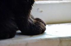 Sophie paws (jgaviria) Tags: cats cat paw gatos claw gato gata neko paws claws gatas garras garra mininos minina minino mininas