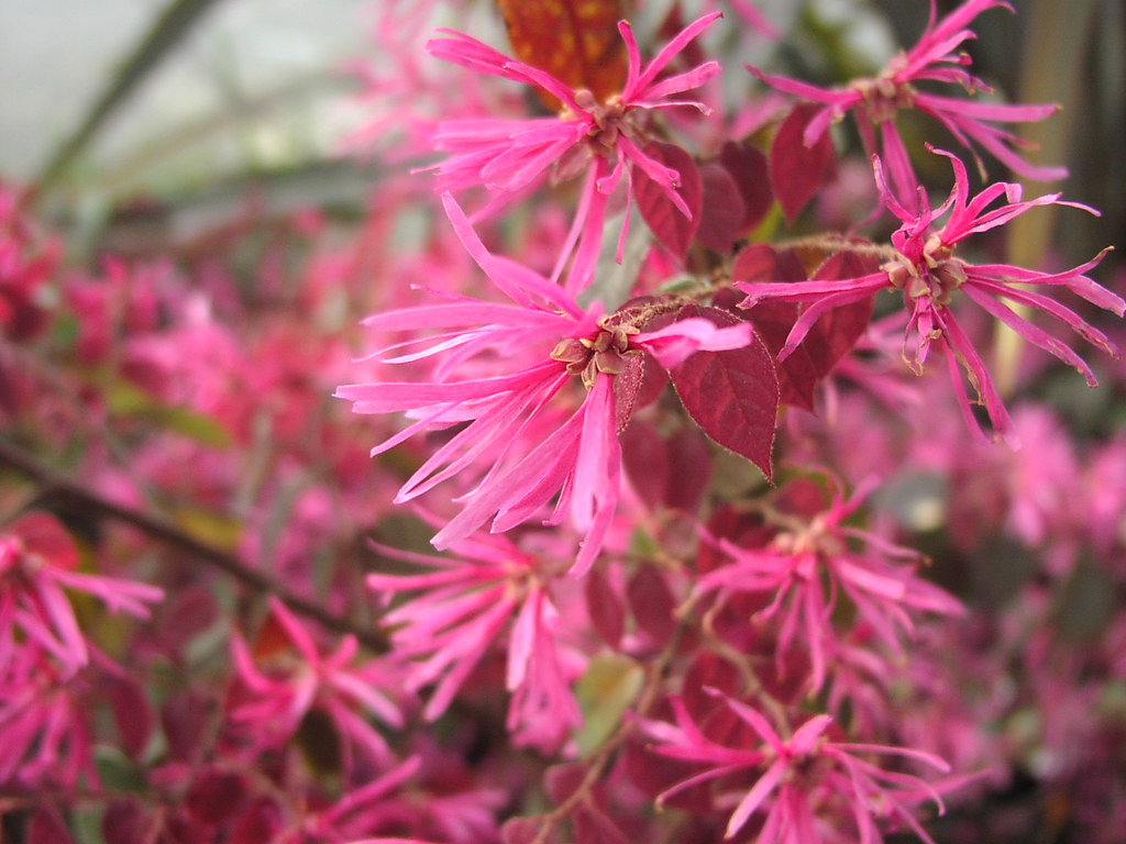 The Worlds Most Recently Posted Photos Of Loropetalum And Pink