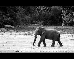 Big Steps (Sara-D) Tags: nature animals forest asia wildlife sl sri lanka species elephants srilanka ceylon endangered lk aliya maximus wildanimals southasia endangeredspecies elephasmaximus tusker sarad elephas elephasmaximusmaximus saranga wildelephants sarangadevadealwis sarangadeva