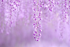 (comolebi*) Tags: flowers flower purple pentax bokeh explore  k7  wisteriafloribunda japanesewisteria   explored    mazennta