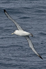 010011.2-IMG_1976 White-capped (Shy) Albatross (Thalassarche [cauta] steadi) (ajmatthehiddenhouse) Tags: bird 2012 steadi shyalbatross thalassarchecauta thalassarche cauta whitecappedalbatross thalassarchesteadi thalassarchecautasteadi wpo2012