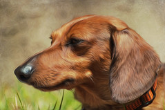 Dashing dachshund! (wowography.com) Tags: portrait dog cute texture woof grass puppy poser nikon natural paddy canine dachshund longisland explore adobe portraiture badger sit oil handheld 70300mm lunatic stay spoiled oilpainting lightroom dashing hcs d90 allmuscle wowography 83110 pixelbender longislandphoto skeletalmess wowographycom threedogslonghalfadoghigh