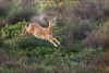 Playtime! (hvhe1) Tags: morning holland nature animal sunrise mammal nationalpark jump play heather wildlife thenetherlands natuur buck youngster dier roedeer veluwe veluwezoom heide ochtend zonsopgang reebok ree interestingness4 zoogdier specanimal hvhe1 hennievanheerden jaarling
