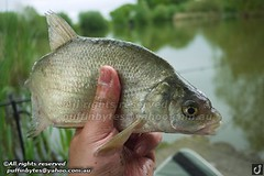 Bream - Abramis brama (puffinbytes) Tags: greatbritain england animals unitedkingdom carps bream essex animalia minnows cyprinidae cypriniformes chordates chordata actinopterygii rayfinnedfishes abramis abramisbrama taxonomy:kingdom=animalia taxonomy:phylum=chordata taxonomy:class=actinopterygii taxonomy:family=cyprinidae taxonomy:order=cypriniformes leuciscinae spb:country=uk spb:id=01f5 spb:species=abramisbrama spb:pty=f taxonomy:subfamily=leuciscinae taxonomy:genus=abramis taxonomy:species=brama taxonomy:binomial=abramisbrama taxonomy:common=bream spb:lid=00by spb:pid=0kiz