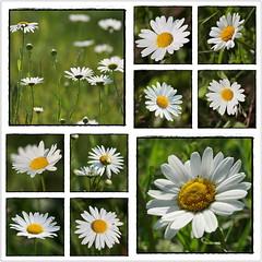 Margeriten auf der Wiese I (Harald52) Tags: collage natur pflanzen wiese blumen blten margeriten