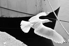 (CroytaqueCie) Tags: cherbourg bird oiseau port noiretblanc blackandwhite nb bw seagull rope boat ailesdudésir wings