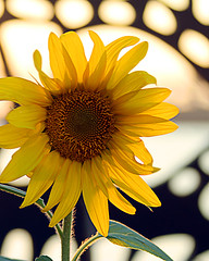 Sun flower (Andrew Fleming Photography) Tags: andrew sunflower fleming andrewfleming