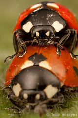 C. septempunctata Mating ([[BIOSPHERE]]) Tags: uk macro sex garden ladybird mating septempunctata coccinella mpe 7punctata 7spot macrolife