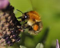 Bumble Bee on Lavender (Bombus pascuorum) (marmendy mill) Tags: macro closeup bug insect photo nikon bees bee bumblebee honey pollen 1001nights essex hymenoptera lavandula bombuspascuorum 1001nightsmagiccity allnaturesparadise