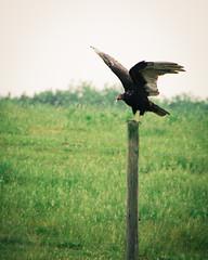 Turkey Vulture (Truebritgal) Tags: ohio sky bird nature field grass turkey nikon wing large perch perched vulture buzzard nikkor jewett fencepost turkeyvulture faithranch 18200lens d7000 truebritgal