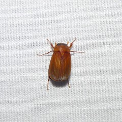 May Beetle (Dendroica cerulea) Tags: insect newjersey spring beetle nj blacklight highlandpark junebug arthropoda invertebrate arthropod coleoptera insecta maybeetle scarabaeidae middlesexcounty melolonthinae mothlight phyllophaga polyphaga scarabaeoidea melolonthini