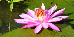 Water lilly (2mag7- non-stop catching up!) Tags: pink flowers southamerica water lilly suriname paramaribo
