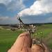 Mantis palo* Empusa pennata (inmaduro)