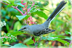 State bird of Texas - The Mockingbird