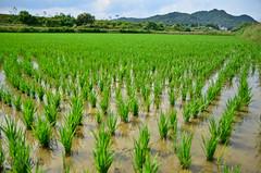 Macro play (Riachu1) Tags: macro rice korea frog