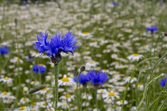 Cornflower in a sea of scented mayweed, Harpswell, Lincolnshire (mikepickwellwildimages) Tags: cornflower scented harpswell mayweed hallfarm