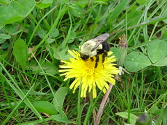 Bumble Bee (Chad Burton1) Tags: 2012 group3 zol355 poporg burtonc