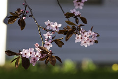 Last day of winter! 4 (Jay.Garcia) Tags: pink flowers trees flower tree cherry blossom blossoms cherryblossom cherryblossoms cherrytree