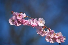 Have a great spring- time ! (Mariannevanderwesten) Tags: pink flower nature nikon natuur bloesem roze