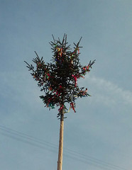 20160502_075903-1 (EadaoinFlynn) Tags: tree season may ritual slovakia tradition mayday pietany