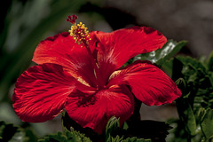 Hibiscus_MG_0004 (918monty) Tags: texas allen hibiscus tropical mallow malvaceae shrub subtropical redflower smalltree warmtemperate stateflowerofhawaii hibiscaeae