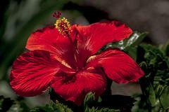 Hibiscus_MG_0004 (918monty) Tags: texas allen hibiscus tropical mallow malvaceae shrub subtropical redflower smalltree warmtemperate stateflowerofhawaii hibiscaeae