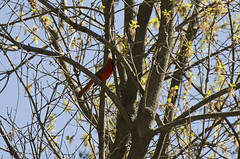 A Dash of Red DSL7856 (iloleo) Tags: red tree bird nature spring cardinal branches ashbridges nikond7000