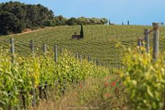 Alone in the vineyard (Antonio Ciriello) Tags: italy verde green nature canon countryside vineyard italia cottage natura campagna vineyards cypress tamron puglia casolare taranto 70300 apulia vigneto crispiano cipresso vigneti 600d 70300vc eos600d canoneos600d tamron70300vc rebelt3i 70300vcusd